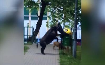 Sprytna locha w Sopocie walczy ze śmietnikiem