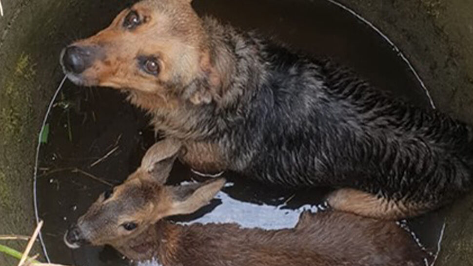 Pies i sarna razem wpadły do studni