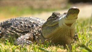 Grasował na przedmieściach Melbourne w Wigilię. Krokodyl schwytany przez