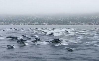 Około 100-tu delfinów u wybrzeży Kalifornii