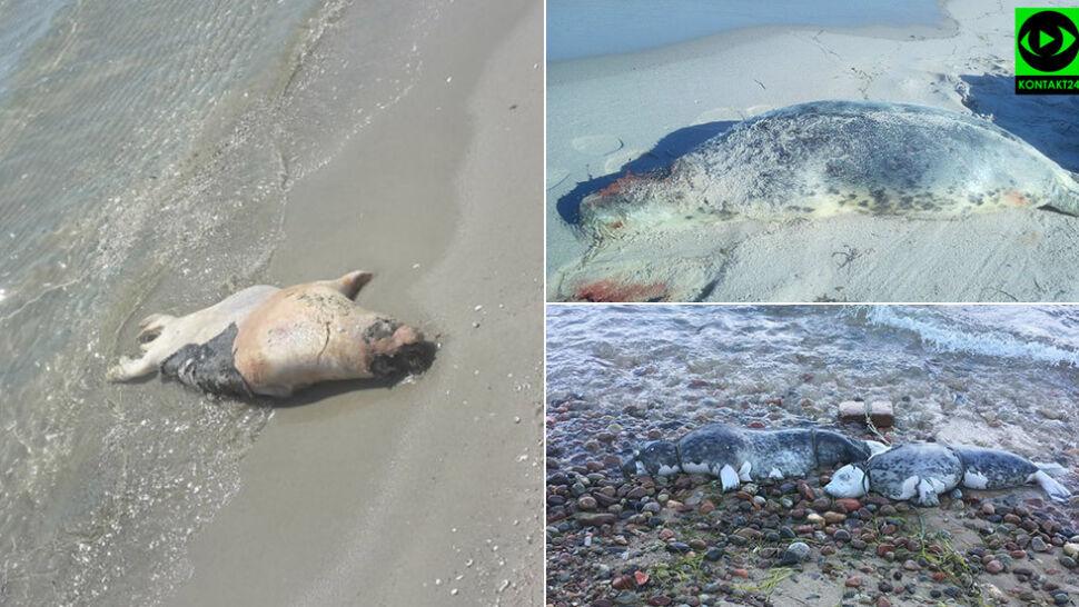 Martwa foka znaleziona na plaży, miała rozcięty brzuch. To już piąty przypadek