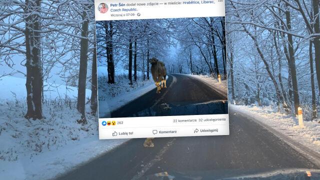 Wielbłąd w czeskich górach to nie fejk
