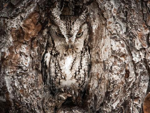 Wyróżnienie - Portrait of an Eastern Screech Owl