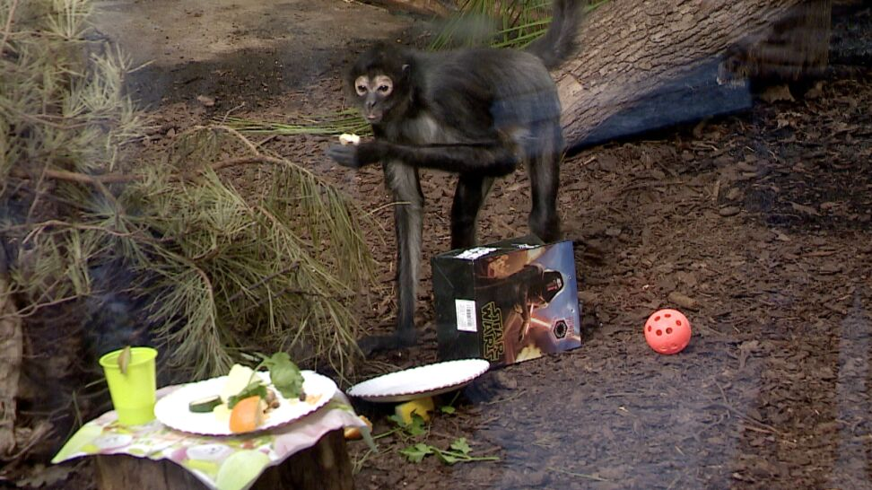 Dostał tort i nowy hamak. 19. urodziny małpki Colombo