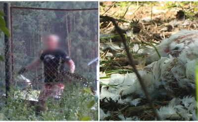 Aktywiści nagrali wyrzucanie kurczaków za płot fermy