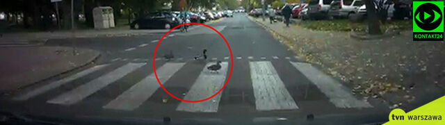 """Sprytne kaczki na przejściu dla pieszych. """"Jakby były tego nauczone"""""""