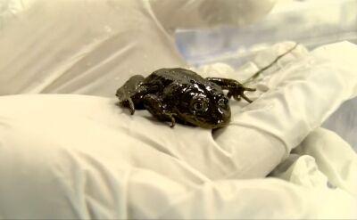 Ratunek dla żab z Chile