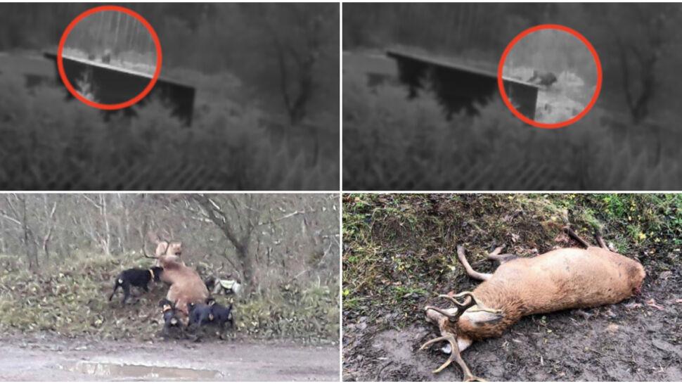 """Siedem psów rozszarpało jelenia. """"Myśliwy nie reagował"""""""