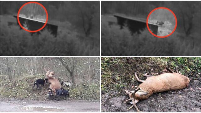 Jeleń rozszarpany przez psy