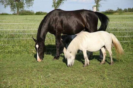 Różyczka w towarzystwie innego konia
