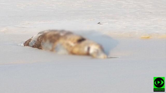 Martwa foka leży na plaży. Kto i kiedy ją sprzątnie? Nie wiadomo