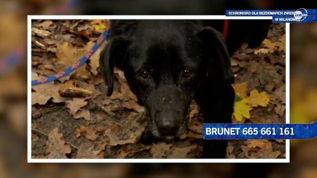 Brunet szuka domu