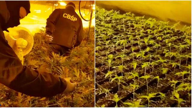 """""""Rośliny wypełniały niemal każde pomieszczenie"""". CBŚP zlikwidowało plantację marihuany"""