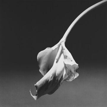Calla Lily, 1986