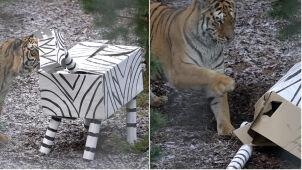 Tygrysy z Człuchowa dostały nową zabawkę.