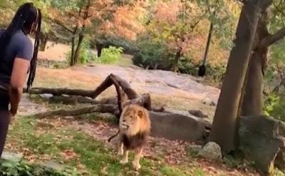 Wyszła na wybieg dla lwów, zaczęła tańczyć