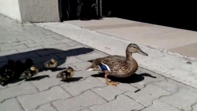 Kaczą rodzinę mogły rozjechać samochody. Ptakom pomogli policjanci