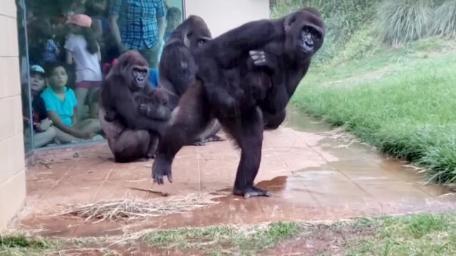 The gorillas overcame their rivals in the rain