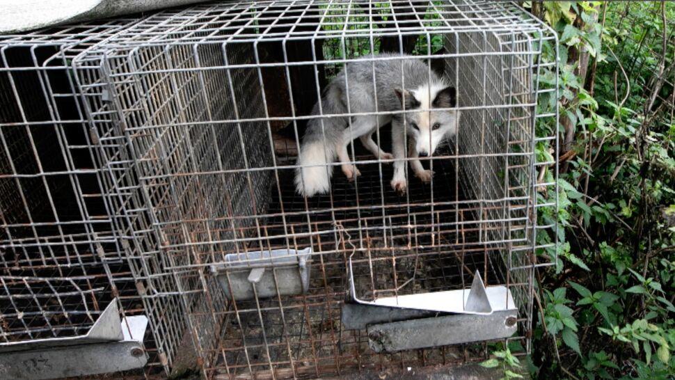 Psy nadal na łańcuchach, lisy w klatkach, zwierzęta w cyrku. Co zostało z obietnic PiS?