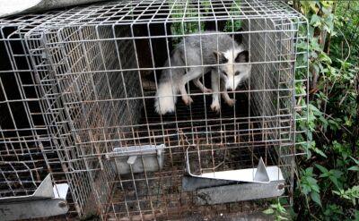 PiS wprowadza zmiany dotyczące hodowli zwierząt