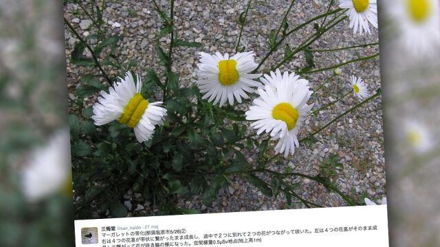 Zdeformowane kwiaty wokół Fukushimy. Lepiej ich nie wąchać