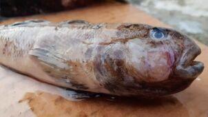 Chore ryby w Zatoce Puckiej