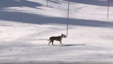 Pies na trasie slalomu w Chamonix. Umiejętnie ominął tyczki