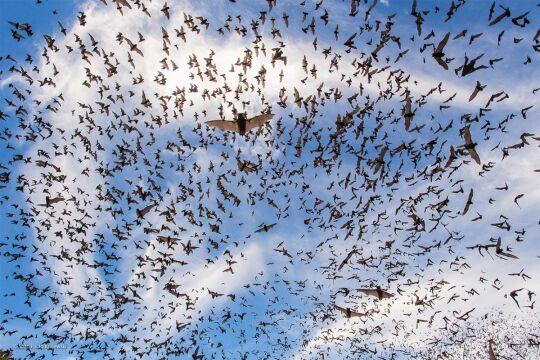 'Bat Festival' João Paulo Krajewski, Brazylia, Wielka Brytania