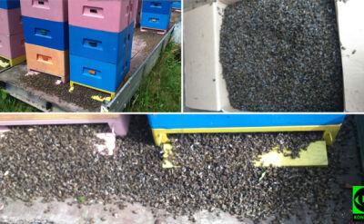Wymarły dwa miliony pszczół. Policja bada sprawę