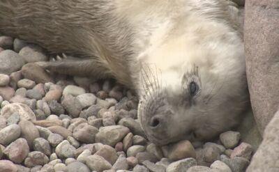 Wszystkie foki ze Stacji Morskiej zostały mamami