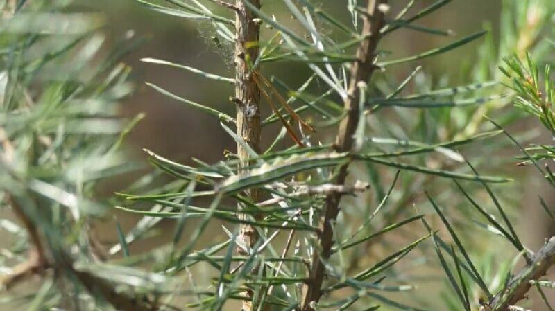 Strzygonia choinówka w natarciu