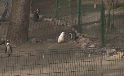 Pingwin albinos jest skarbem gdańskiego zoo