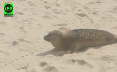 Foka na plaży w Międzyzdrojach