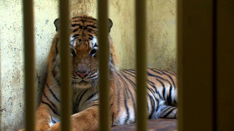 Tygrysy z Człuchowa wyszły na pierwszy spacer