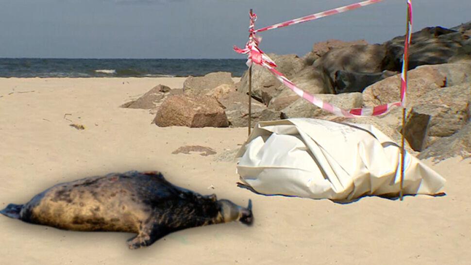 Coraz więcej martwych fok na bałtyckich plażach