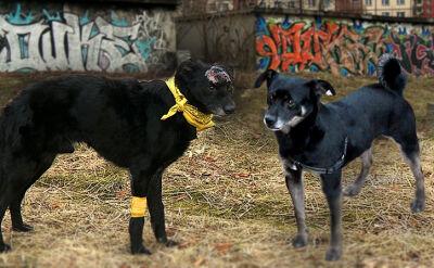 01.03.2017 | Skatowany kundelek pozostawiony na pewną śmierć. Życie uratował mu inny pies