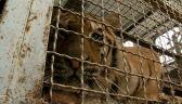 Tygrysy z Włoch dotarły już do poznańskiego zoo. Jeden z nich jest w ciężkim stanie