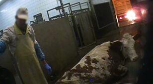 Tysiące kilogramów mięsa z chorych krów trafiło na rynek.