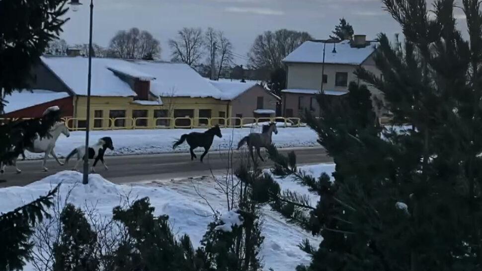 Jedną z ulic Suwałk przegalopowało stado koni