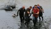Ludzie ruszyli na pomoc jeleniom, które utknęły w błocie przy Zalewie Szczecińskim