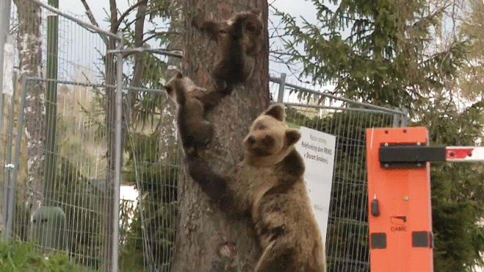 Niedźwiedzica z dwójką małych wlazła na drzewo w centrum miasta