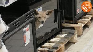 Lis skrył się w markecie. Zdobył Wasze głosy