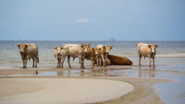 Huragan zmiótł krowy.  Myśleli, że wszystkie zginęły