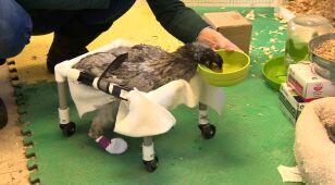 Niepełnosprawna kura z szansą na nowe życie