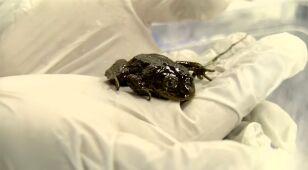W Chile wyłapano ostatnie okazy endemicznego gatunku żaby