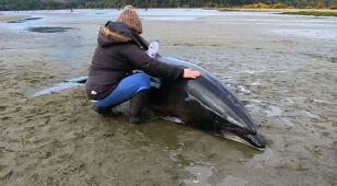 Niezwykła akcja ratunkowa. Delfiny utknęły na plaży