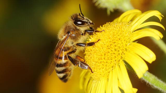 Nowy sposób walki z pleśnią. Pszczoły skuteczniejsze niż opryski