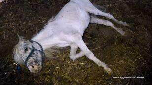 """Uwiązane na łańcuchach, umierały z głodu. """"Płakaliśmy, widząc te konie"""""""